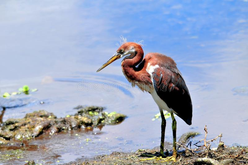 青少年tricolored苍鹭鸟在佛罗里达沼泽地 库存图片