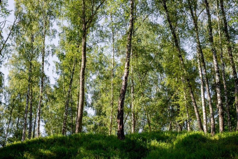 青山的桦树树丛 库存照片