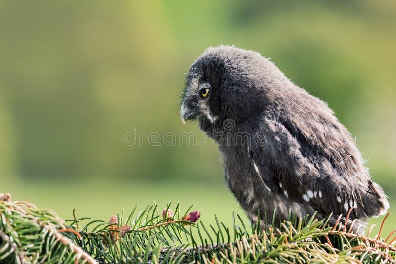 青年猫头鹰灰色 巨大灰色猫头鹰或巨大灰色猫头鹰猫头鹰类nebulosa是一头非常大猫头鹰,被提供作为世界` s最大的种类 免版税库存照片