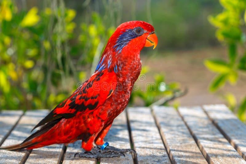 青斑纹的鹦鹉,美丽的红色鹦鹉,马鲁古省群岛在印度尼西亚,鹦鹉训练 库存图片