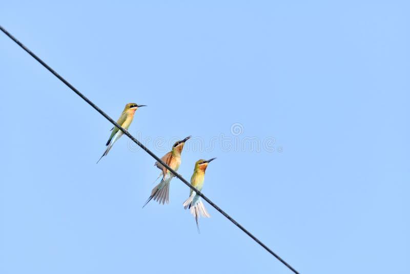 青的被盯梢的食蜂鸟 库存图片