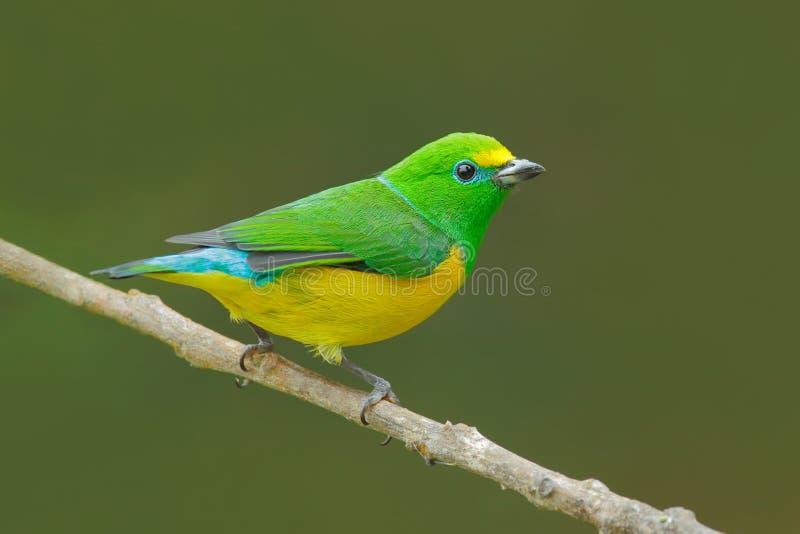 青的naped Chlorophonia, Chlorophonia cyanea,异乎寻常的热带绿色歌曲鸟形式哥伦比亚 从南美的野生生物 绿色和 图库摄影