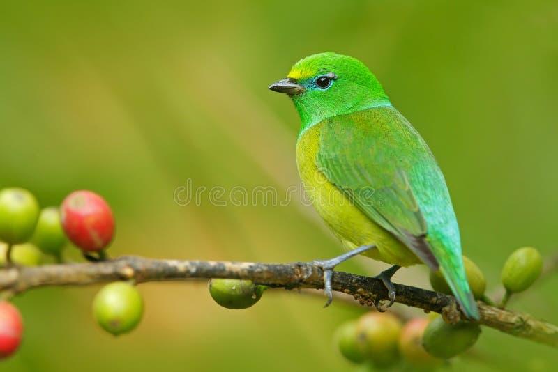 青的naped Chlorophonia, Chlorophonia cyanea,异乎寻常的热带绿色歌曲鸟形式哥伦比亚 免版税库存照片