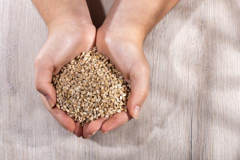 青穗 — 手持珍珠大麦 木材背景 免版税图库摄影