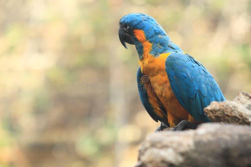 青红喉刺莺的金刚鹦鹉 库存图片