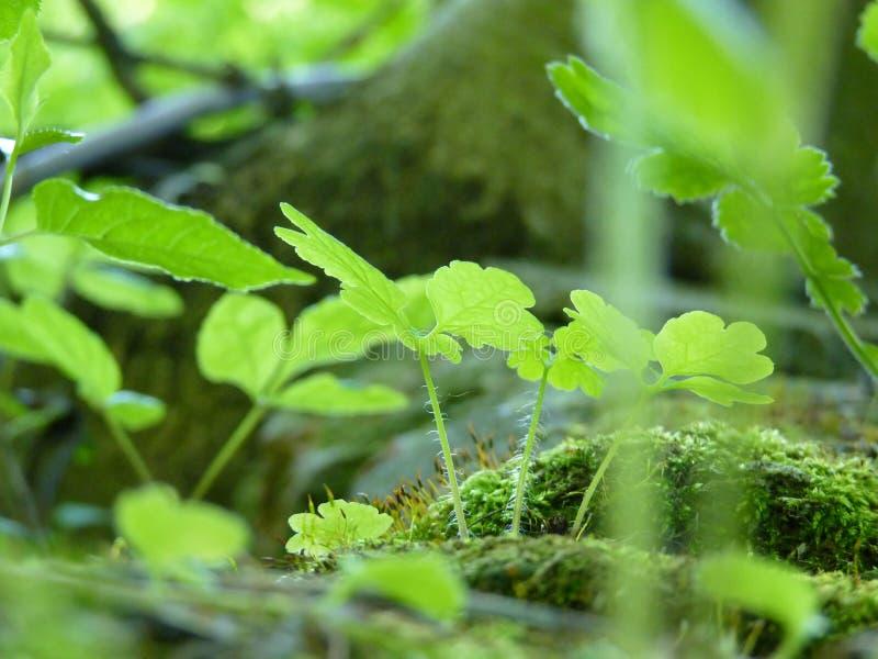 青苔和绿色植物宏观细节的低关闭  图库摄影