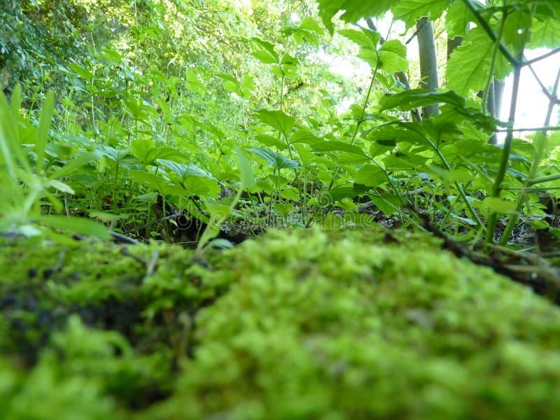 青苔和绿色植物宏观细节的低关闭  免版税库存图片