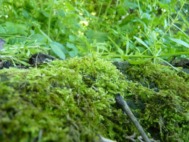青苔和绿色植物宏观细节的低关闭  免版税图库摄影