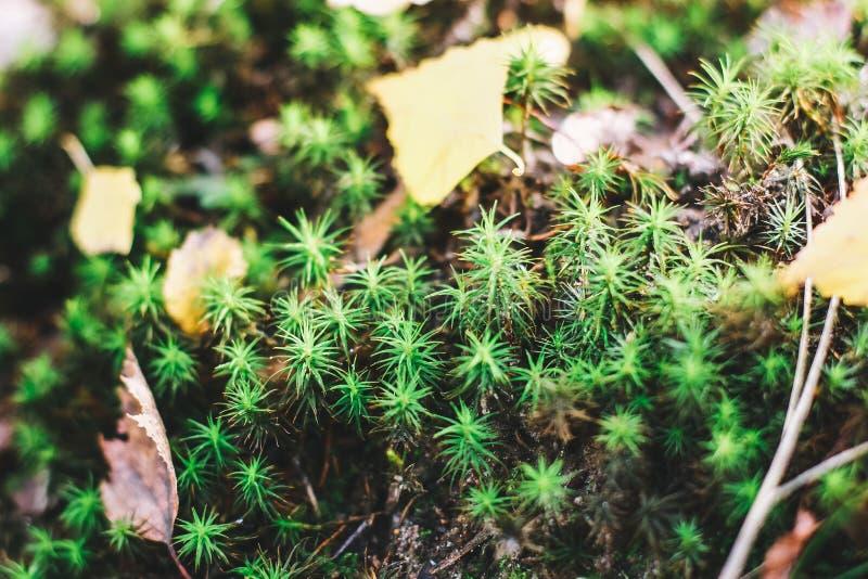 青苔在与干燥叶子的树增长 青苔美好的背景  自然,野生生物 库存照片