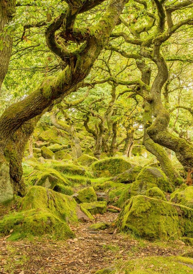 青苔在扭转的树中盖了森林地板在padley峡谷 免版税图库摄影