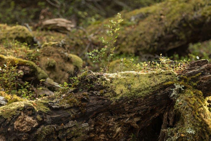 青苔在新西兰` s开普勒轨道的,其中一一个森林里盖了树南岛` s巨大步行 免版税图库摄影