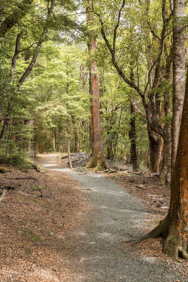 青苔在新西兰` s开普勒轨道的,其中一一个森林里盖了树南岛` s巨大步行 免版税库存图片