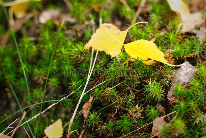 青苔在树,青苔美好的背景增长  自然,野生生物 免版税库存照片