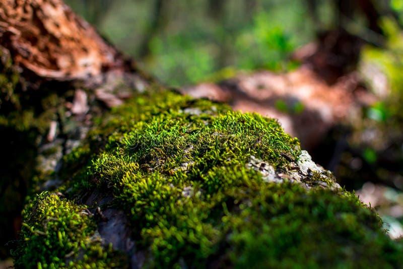 青苔特写镜头绿色新芽在一棵树的在一个晴朗的夏日,选择聚焦,背景 库存照片
