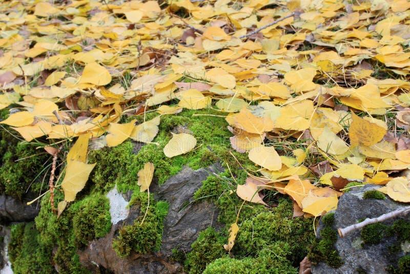 青苔盖了在黄色秋天叶子下的岩石 库存图片