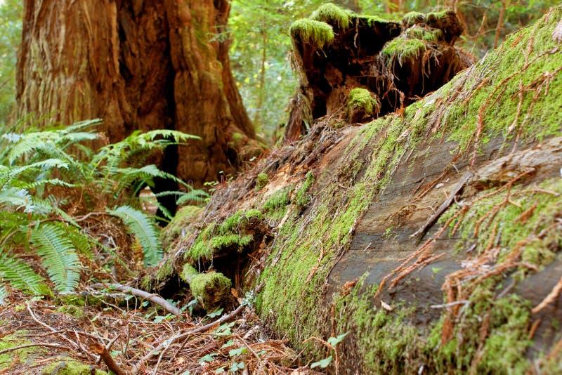 青苔盖子下落的红木在加利福尼亚森林里 免版税库存图片