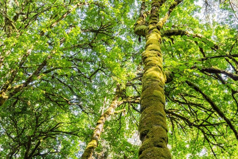 青苔盖的高大的树木在公园温哥华岛不列颠哥伦比亚省 免版税库存图片