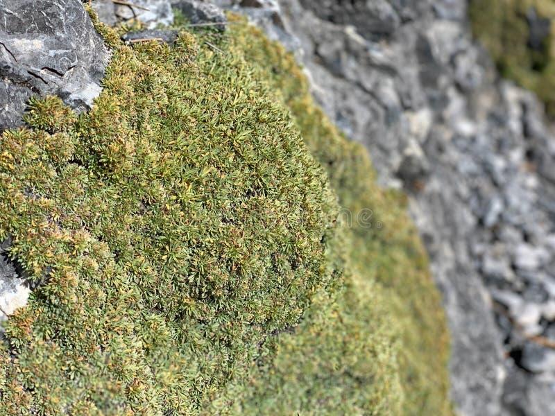 青苔,上部Bristlecone圈足迹,Mt 查尔斯顿,内华达 库存图片