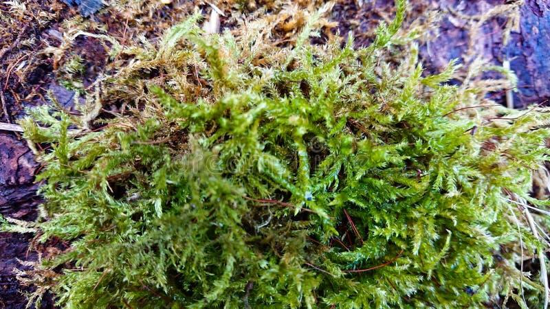 青苔-小隐花的植物 免版税库存图片