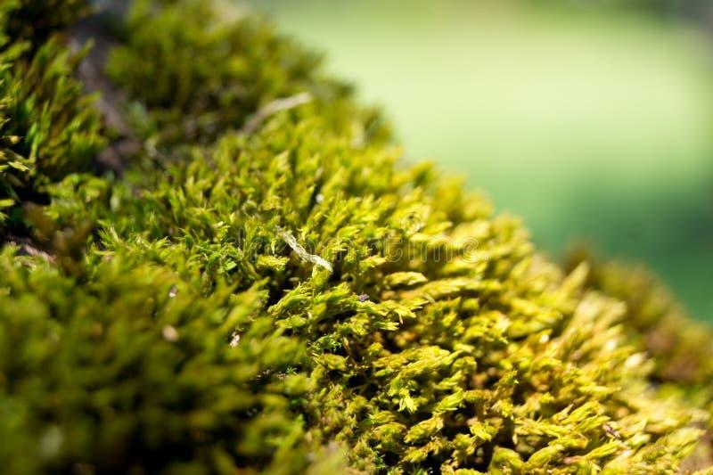 青苔(bryopsida、musci或者muscophyta) 免版税库存照片