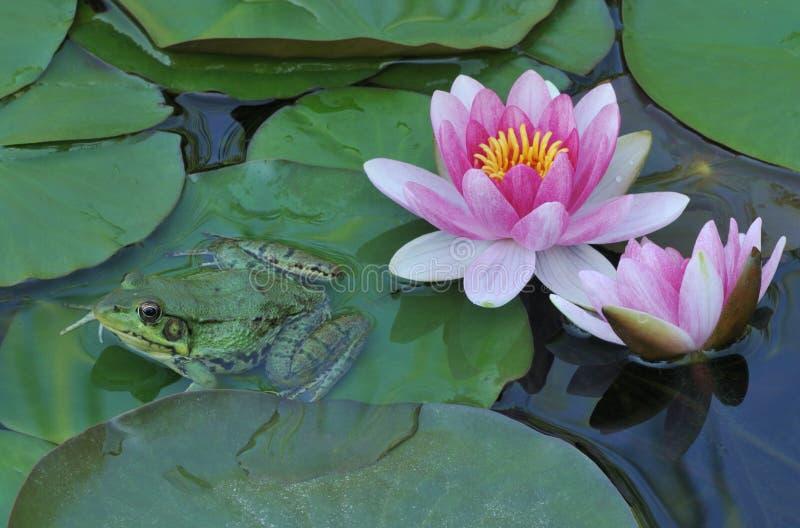 青蛙与粉色睡莲 库存照片