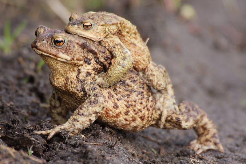 青蛙交配季节 免版税库存照片