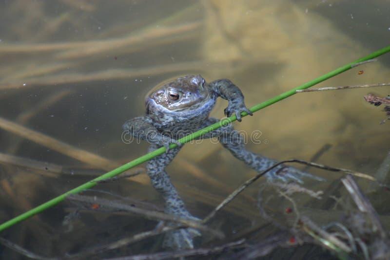 青蛙体操运动员 免版税库存图片