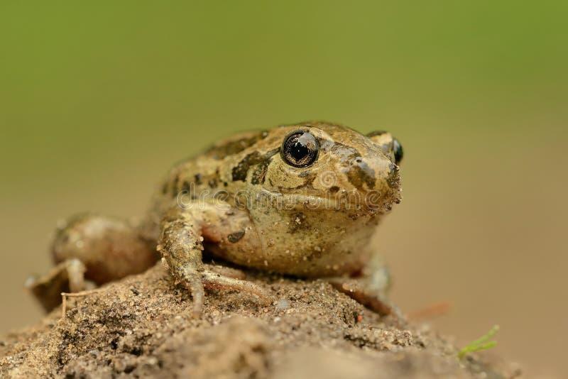 青蛙共同的Spadefoot - Pelobates fuscus 库存图片
