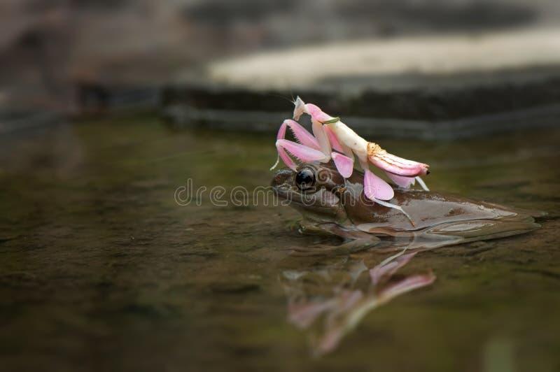 青蛙和螳螂 免版税库存照片