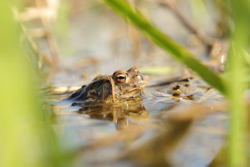 青蛙在交配季节期间的水中 库存照片