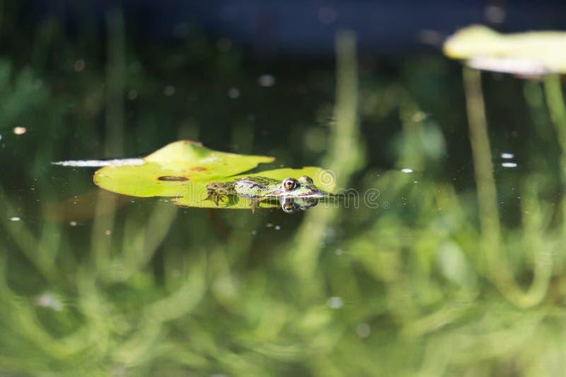 青蛙在庭院池塘 免版税库存照片