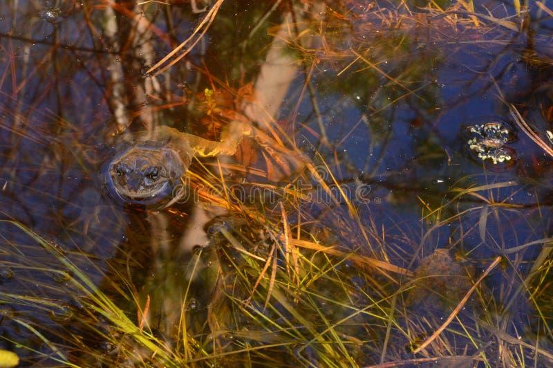 青蛙在沼泽水中在一个春天早晨 免版税库存图片
