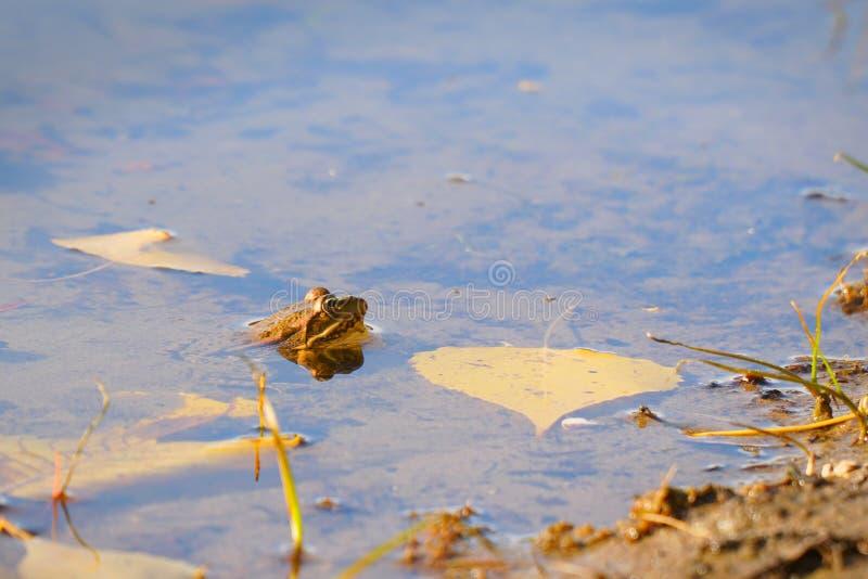 青蛙在秋叶旁边的水中 免版税图库摄影