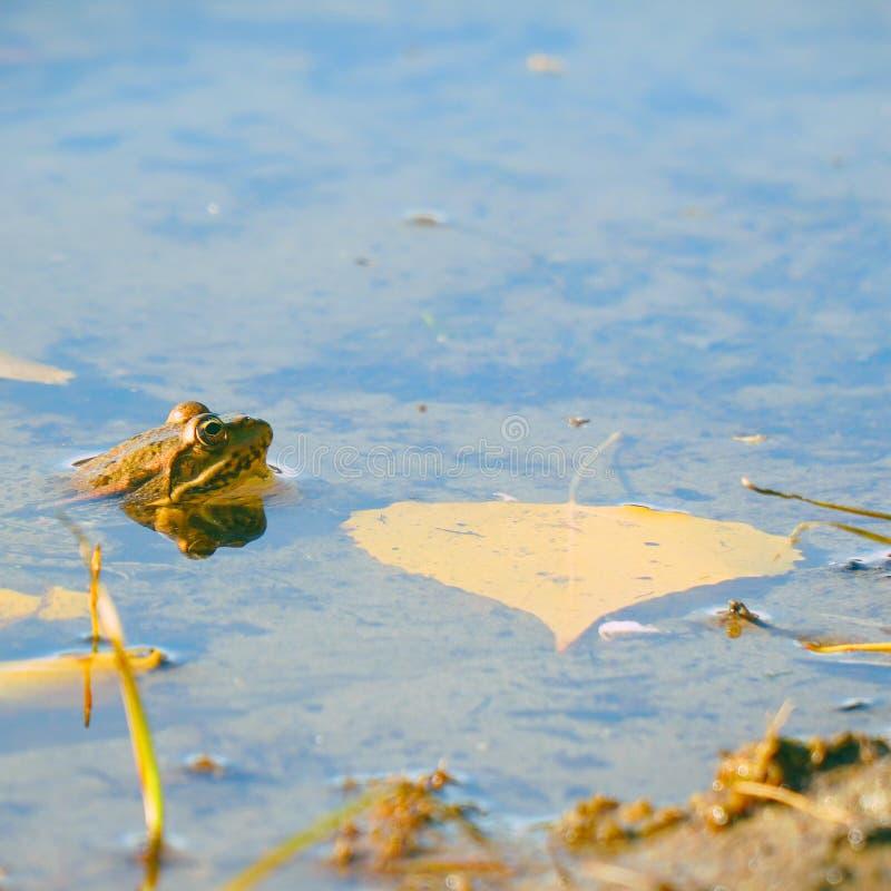 青蛙在秋叶旁边的水中 免版税库存照片