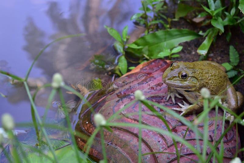 青蛙坐在沼泽旁边的岩石 免版税库存照片