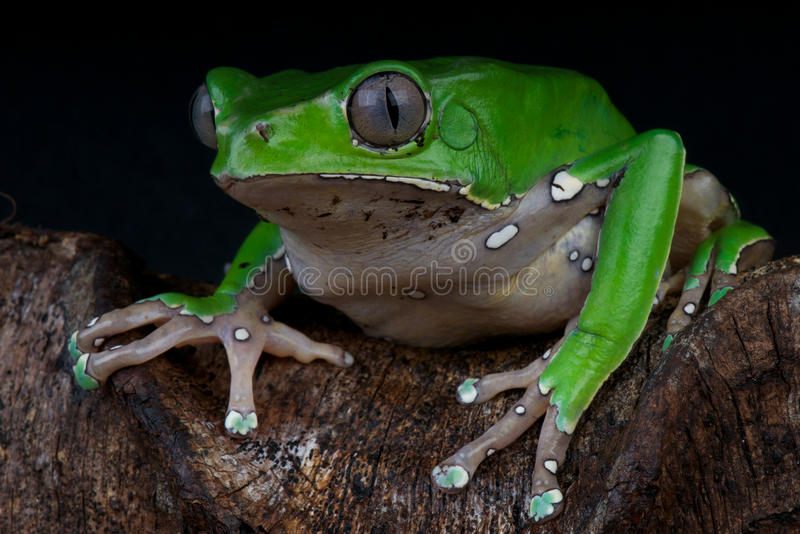 青蛙巨人叶子 图库摄影