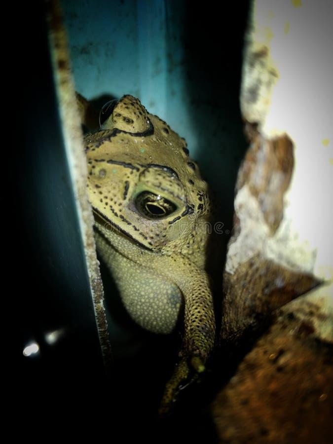 青蛙德曼 库存图片