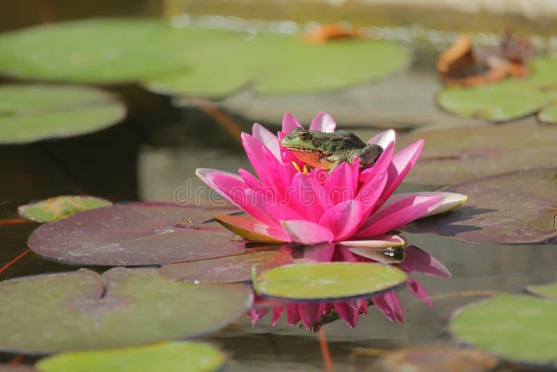 青蛙晒日光浴 库存照片