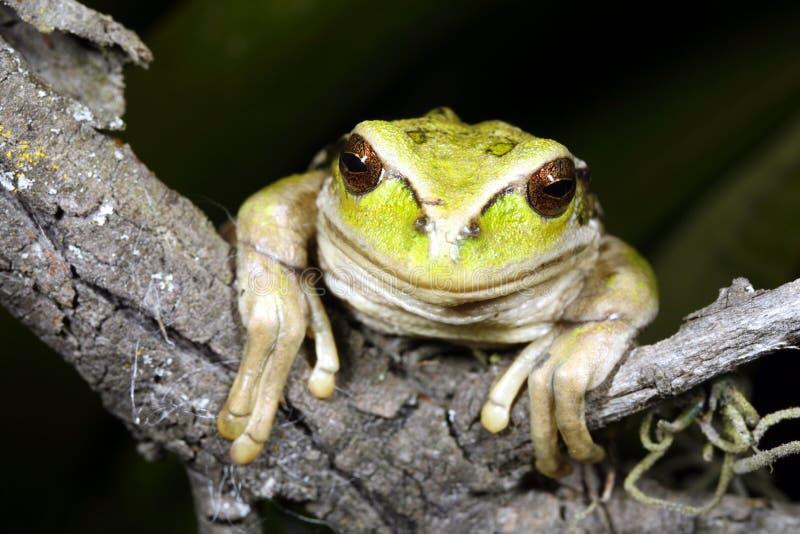 青蛙有袋动物 免版税图库摄影