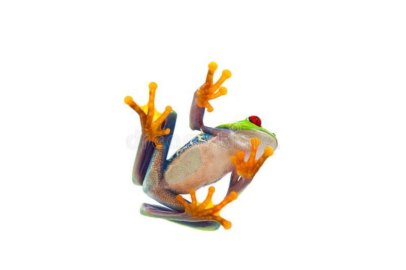 青蛙查出的白色 免版税图库摄影