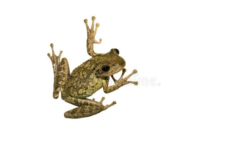 青蛙查出的结构树 免版税图库摄影