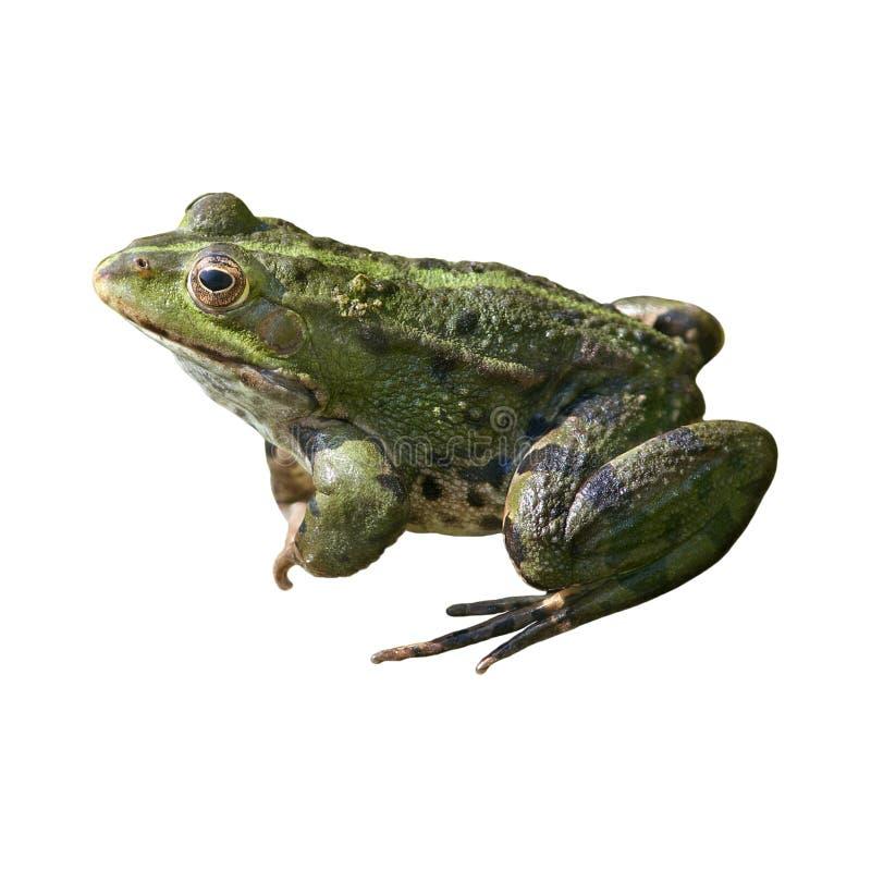 青蛙查出 免版税库存图片