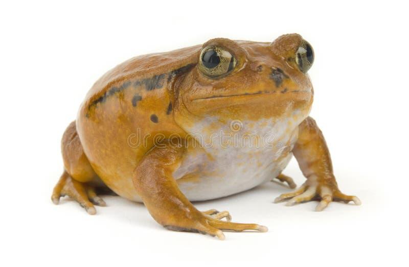青蛙桔子 免版税库存照片