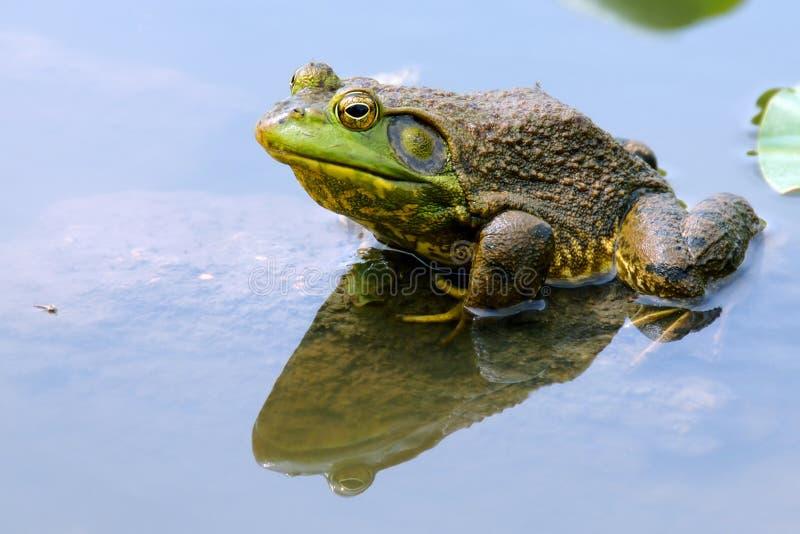 青蛙水 库存照片