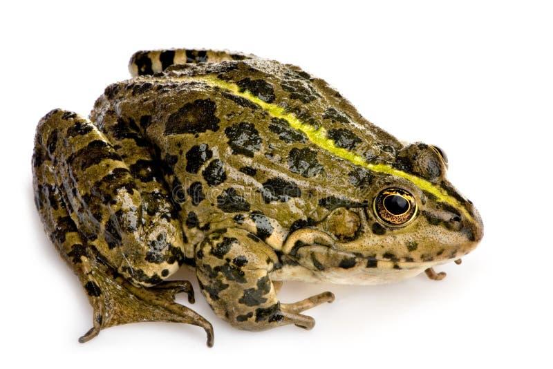 青蛙沼泽蛙属ridibunda 库存图片