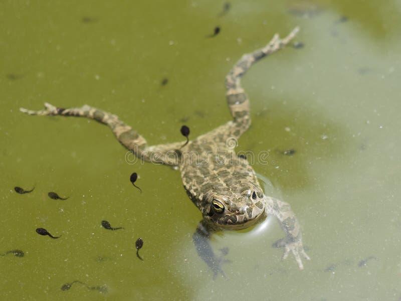 青蛙游泳池塘 免版税库存图片