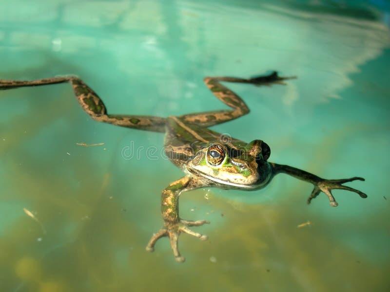 青蛙游泳 图库摄影