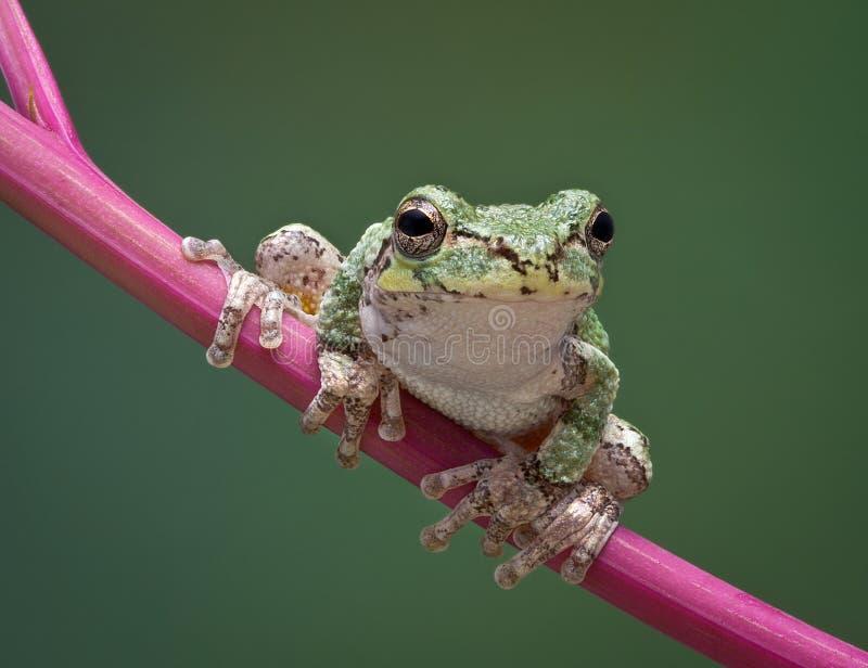 青蛙灰色词根结构树 免版税图库摄影