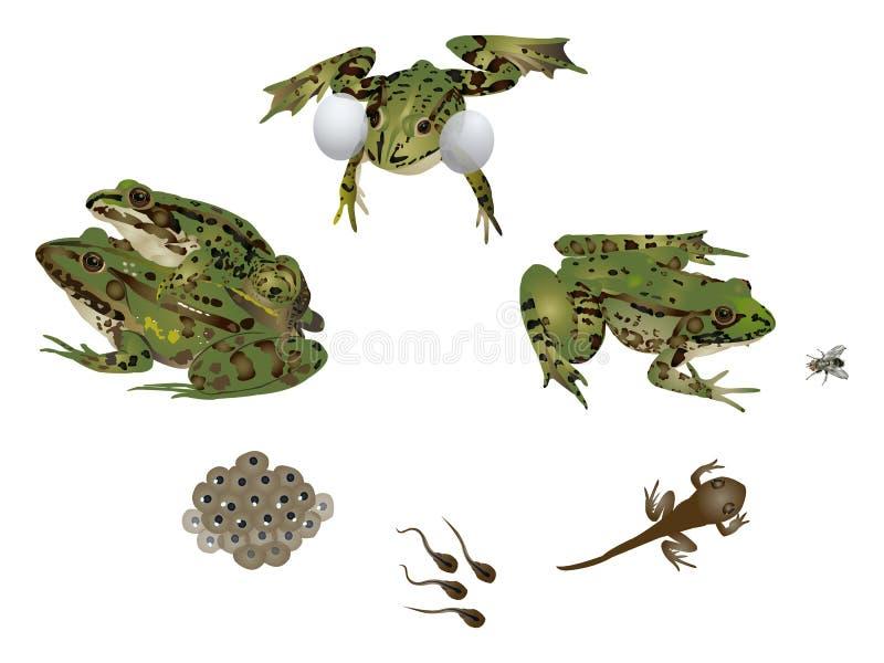 青蛙生活  库存例证