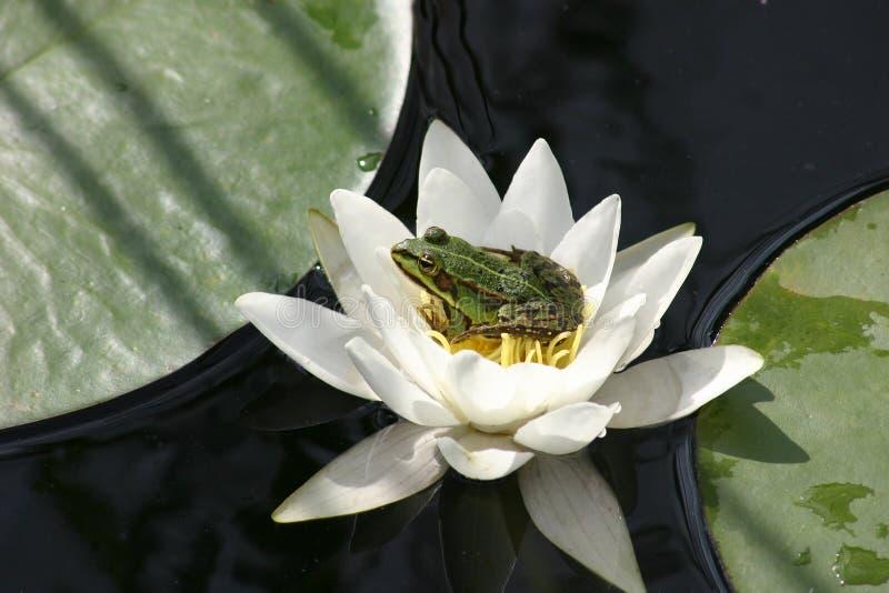 青蛙百合水 库存图片
